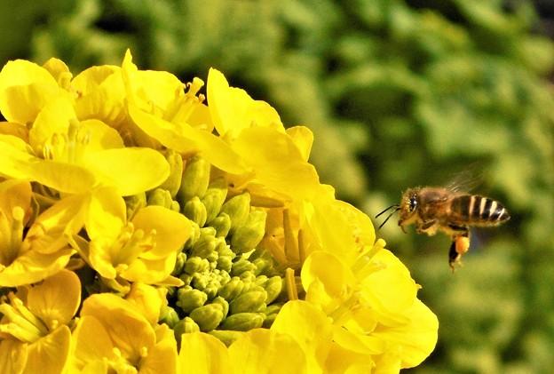 菜の花にホバリングする蜜蜂ミッチー@大寒2020
