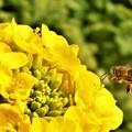 Photos: 菜の花にホバリングする蜜蜂ミッチー@大寒2020