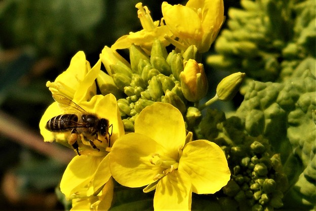 菜の花とミツバチ@大寒2020.1.20