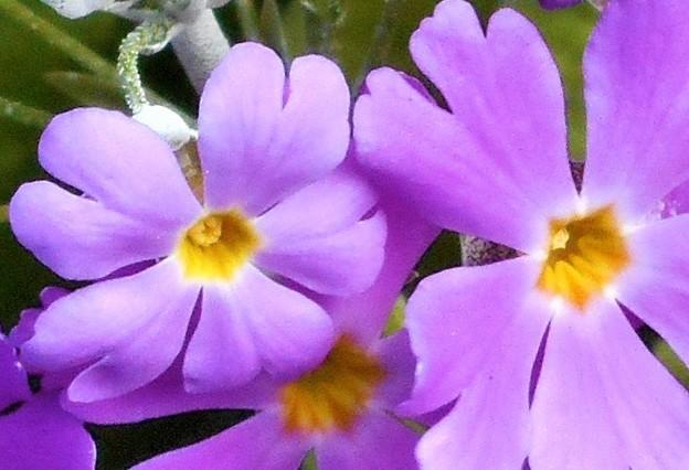 大寒に咲く サクラソウ