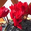 早春の赤いシクラメン@日当たり良好