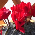 Photos: 早春の赤いシクラメン@日当たり良好
