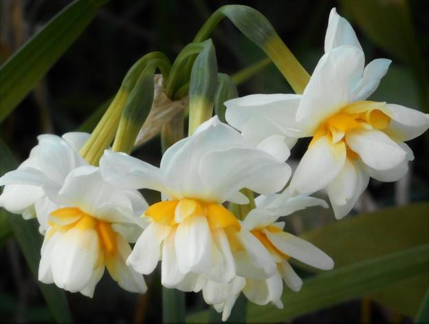 新春の川土手に咲く 白い水仙
