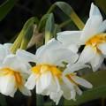 Photos: 新春の川土手に咲く 白い水仙