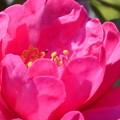 新春(正月)最後の サザンカの花