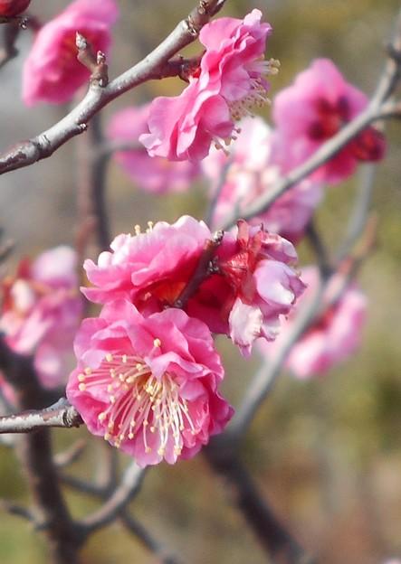 八重咲きの紅梅@黒崎水路周辺