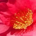 冬に咲く紅い サザンカの花