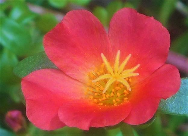 ポーチュラカの紅い花@スベリヒユ科@瑠璃山