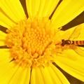 ユリオプスデージーの花蜜を吸うヒラタアブくん