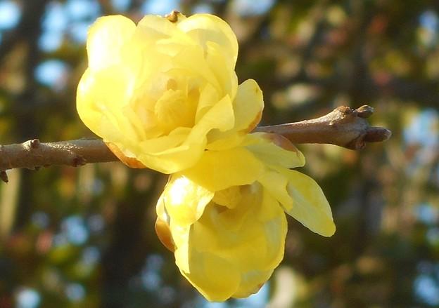 甘い香りの蠟梅の花