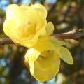 Photos: 甘い香りの蠟梅の花