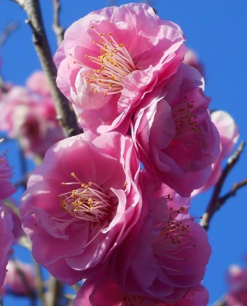 八重咲きの紅梅@備後路