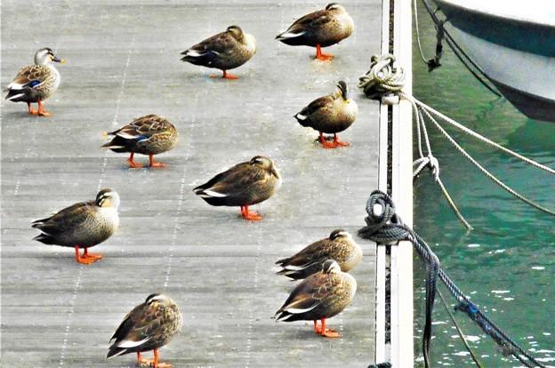 河口で遊ぶ野鳥たち@藤井川のカルガモたち