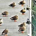 Photos: 河口で遊ぶ野鳥たち@藤井川のカルガモたち