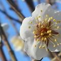 瑞々しい梅の花@瀬戸の白梅
