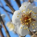 Photos: 瑞々しい梅の花@瀬戸の白梅