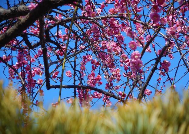 五葉松と八重の枝垂れ紅梅@雨水2020