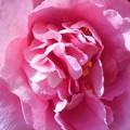 Photos: 御菓子処の庭に咲く@雨水の八重のサザンカ(ピンク系)