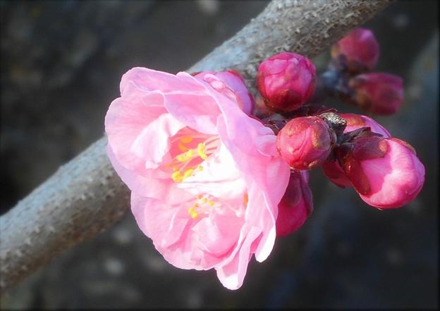 一輪咲きの寒紅梅@高見山山頂