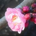 Photos: 一輪咲きの寒紅梅@高見山山頂