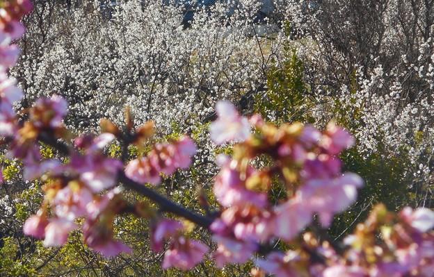 振替休日の寒桜と白梅