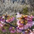 Photos: 振替休日の寒桜と白梅