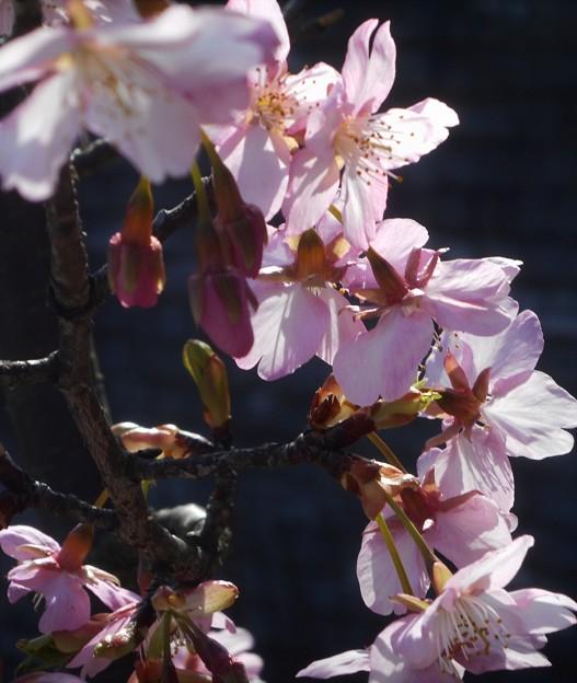 ピンクに輝く 桜花2020.2.27