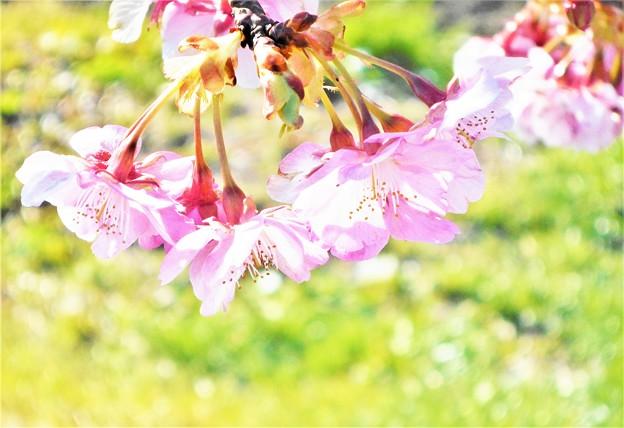 土手の寒桜2020