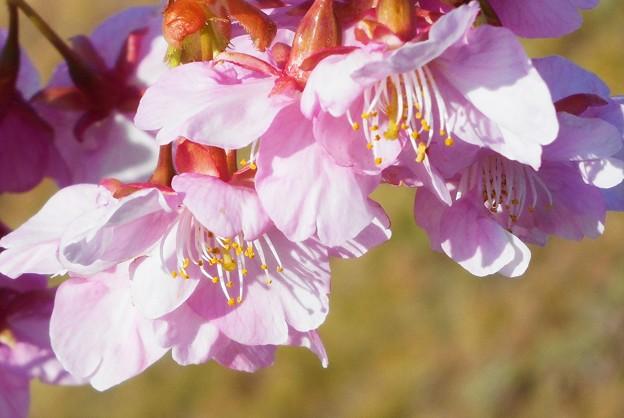 土手の寒桜