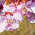 Photos: 土手の寒桜