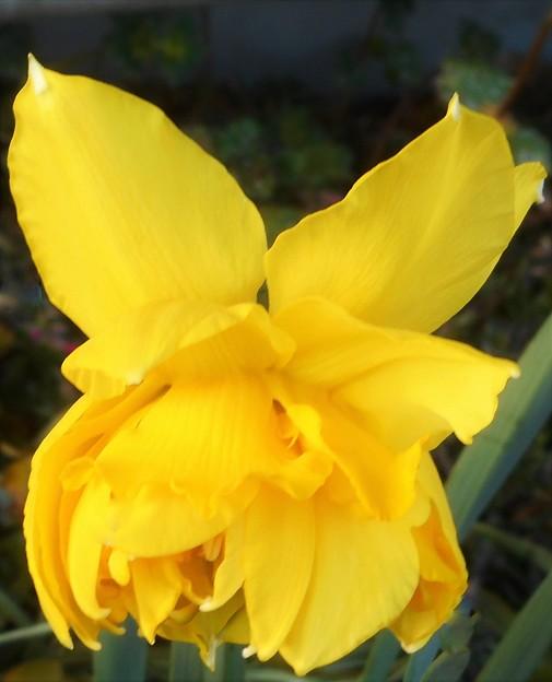 ダイナミックな八重の黄水仙