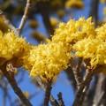Photos: 青空にサンシュユの花