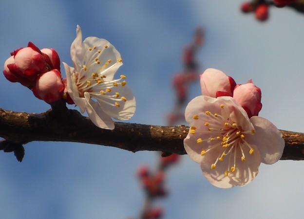 アンズの花の咲くころ@黒崎水路の並木道