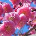 Photos: Kさん宅の八重の枝垂れ紅梅