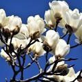 パッと咲いた白木蓮(ハクモクレン)@春の備後路