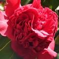 Photos: うねるような紅い椿
