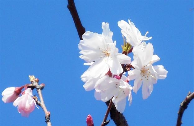 糸桜がちらほらと@備後路