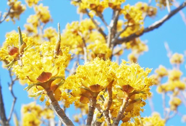 山茱萸(サンシュユ)の花咲くころ