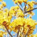 Photos: 山茱萸(サンシュユ)の花咲くころ