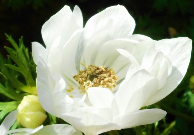 八重のアネモネ(白)