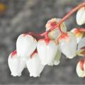 Photos: 馬酔木(アセビ)の花