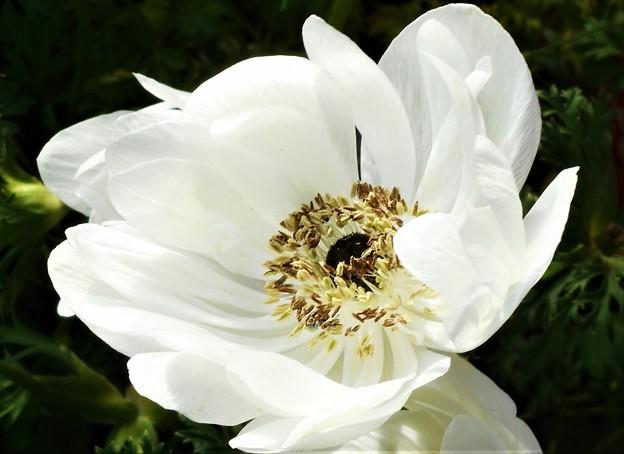 八重に咲く 白い妖精@アネモネの花@牡丹一華(ボタンイチゲ)