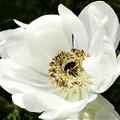 Photos: 八重に咲く 白い妖精@アネモネの花@牡丹一華(ボタンイチゲ)