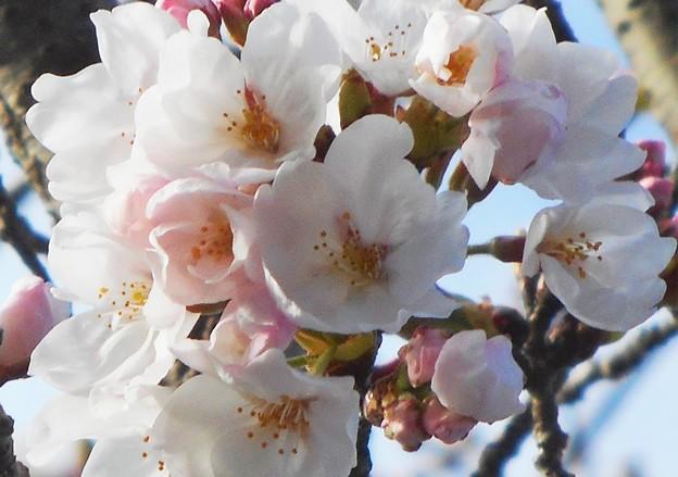 瀬戸田の桜