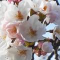 Photos: 瀬戸田の桜