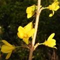 Photos: 山吹色の連翹(レンギョウ)の花