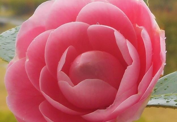 四月の雨に咲く 乙女椿(オトメツバキ)さん