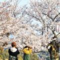Photos: 夜桜と宴会は中止に@千光寺山