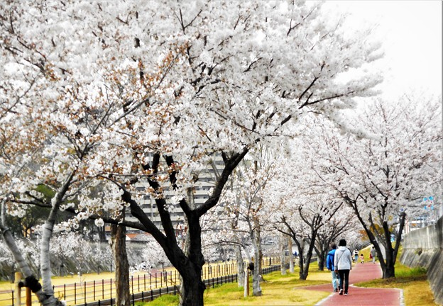 八分咲きの桜並木@黒崎水路