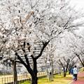 Photos: 八分咲きの桜並木@黒崎水路